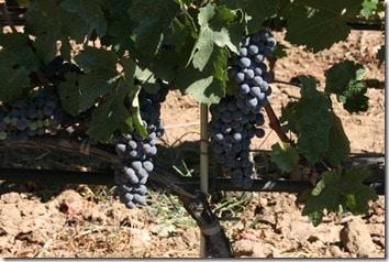 hot grapes