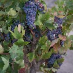 Early Grape Varietals in San Luis Obispo County