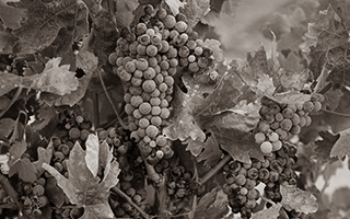 First Measurable Increase in Viticulture during the American Period in San Luis Obispo County