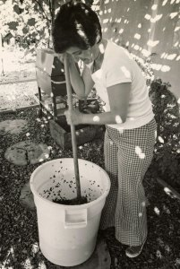 Margaret punching down grapes at the Zuech home vineyard in Westlake Village, 1978