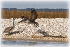 WINEormous pelicans