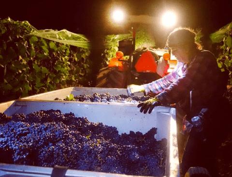 Hirsch Vineyards 2014 Harvest