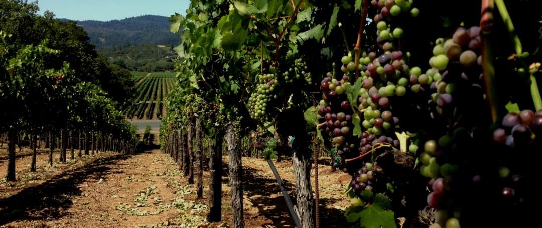Dry Creek Valley Vineyard - Versaison