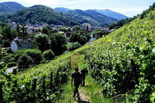 Jefford on Monday: Alsace notebook