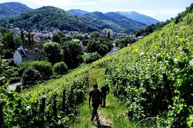 Jefford on Monday: Alsace notebook