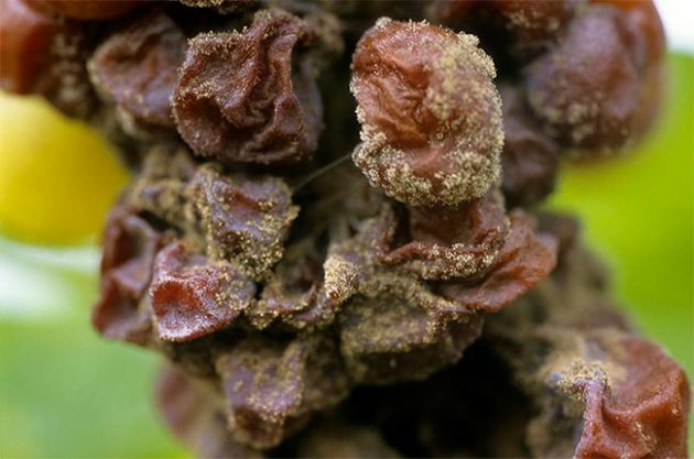 How noble rot influences wine flavour – study