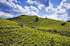roussillon vineyards