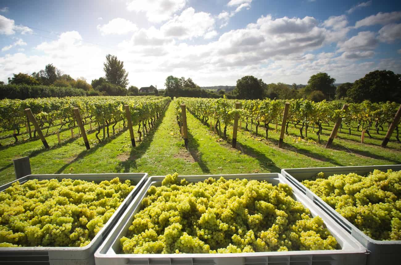 Expect more UK wine as vineyard planting jumps