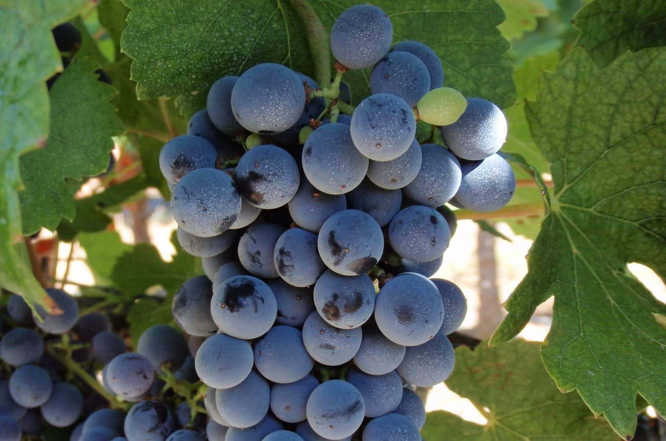 Meet the 'new' Bordeaux wine grapes
