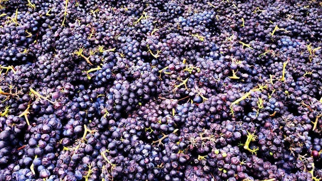 Grapes after harvest