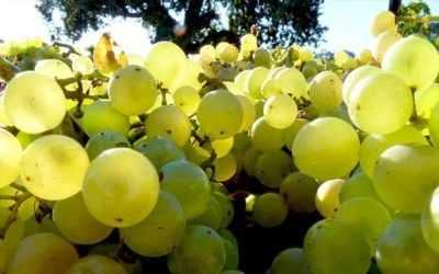Santa Barbara County Wine Harvest 2018