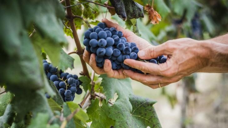 Pinot Noir grab