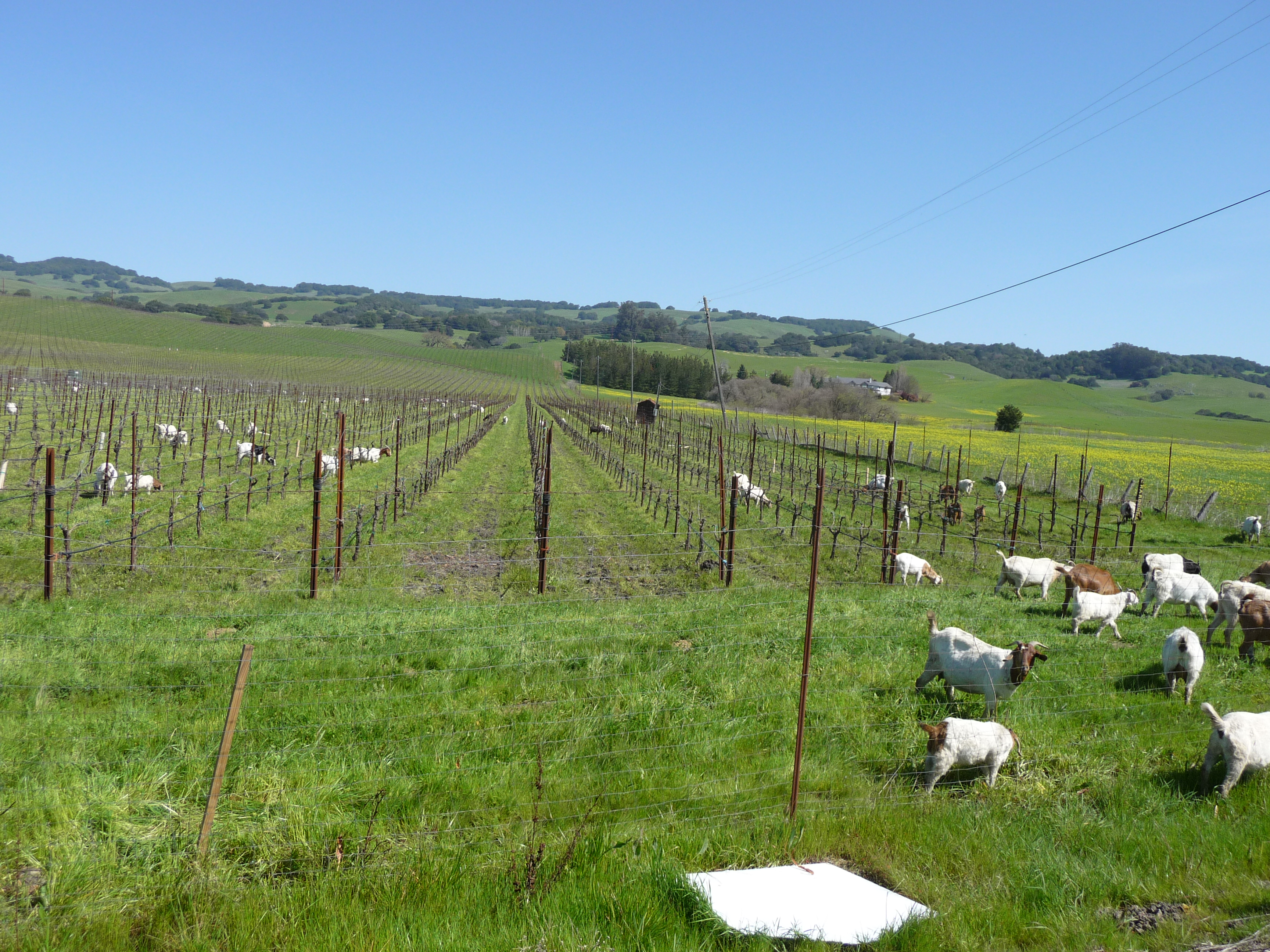 Goat in the vineyards