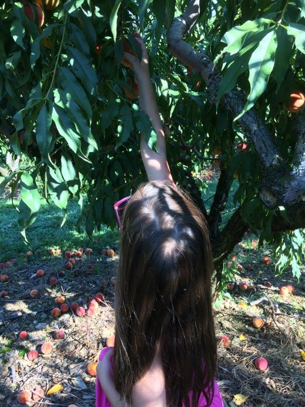 Peach Picking the Last Bit of Summer
