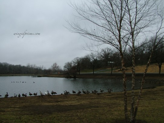 can you find the lone Snow Goose?