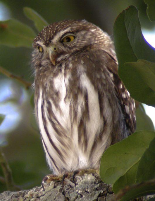 Ferruginous Pygmy Owl1