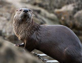 River Otter3