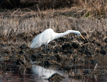 Common Egret on the Hunt