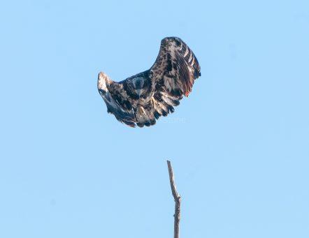 Juvenile EagleTakes Off