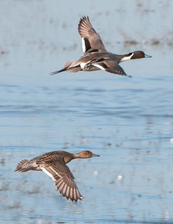 Pintail Pair in Flight