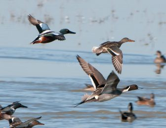 Shovelers and Pintail in Flight