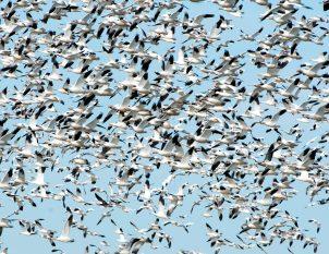 Snow Geese in Flight 1