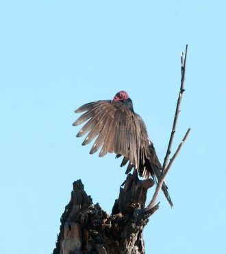 Turkey Vulture Drying Out