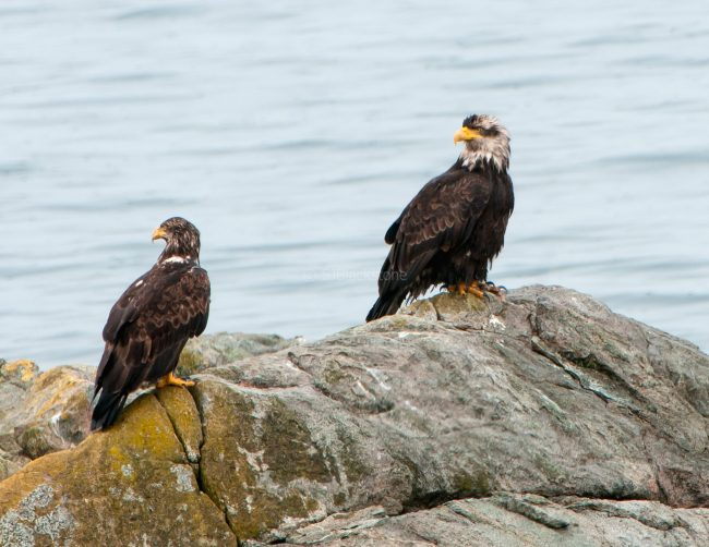 March Bald Eagles1
