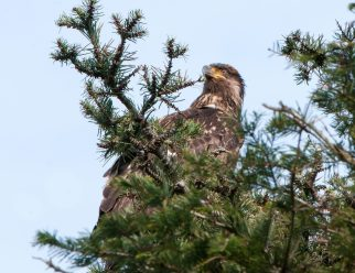 March Bald Eagles3