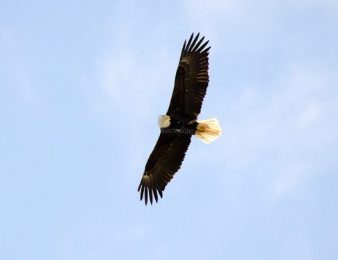March Bald Eagles7