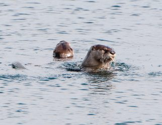 March Otters3