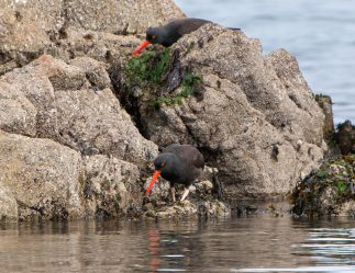 March Oystercatchers5