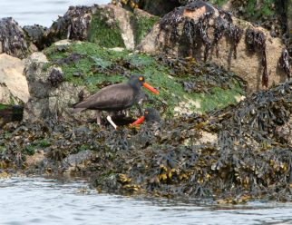 March Oystercatchers6