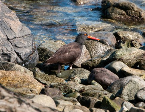 March Oystercatchers10
