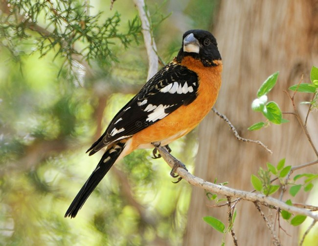 Black-headed Grosbeak3