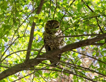 Spotted Owl3