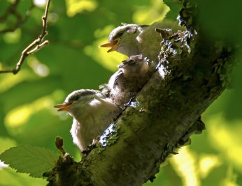 Rose Breasted Nuthatch Chicks06