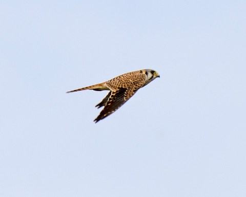American Kestrel in Flight1