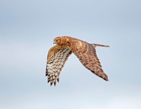 Northern Harrier Up Close2