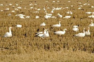 Snow Geese in Rice Field