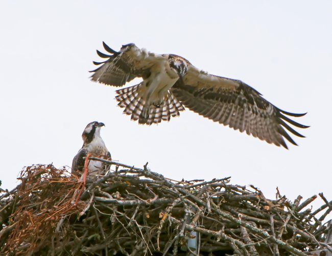 Fledgling looks on as chick tries out its wings