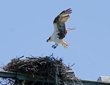 Female returns to the nest