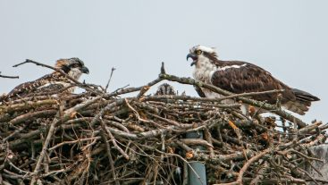 Female osprey with two chicks