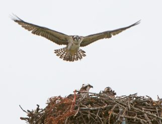 Fledgling recovers from low approach and hopes to land on the nest