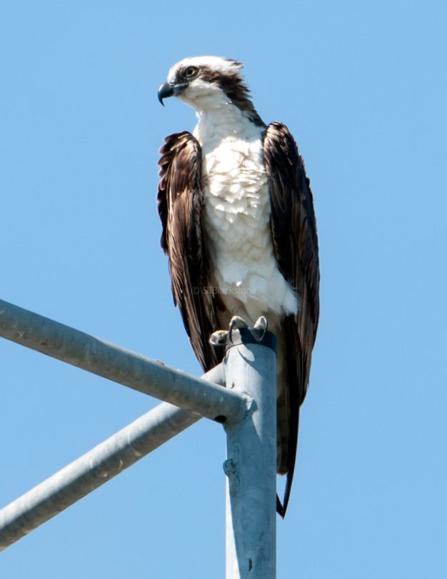 Male osprey taking a break