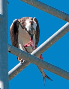 Male osprey pauses to eat