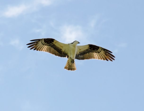 Osprey directly overhead