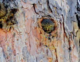 Northern Pygmy Owl 3