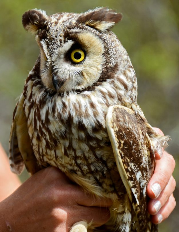 Long-Eared Owl 4