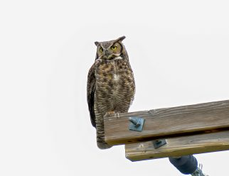 Great Horned Owl 3